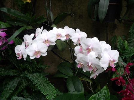 LGwhiteorchids2