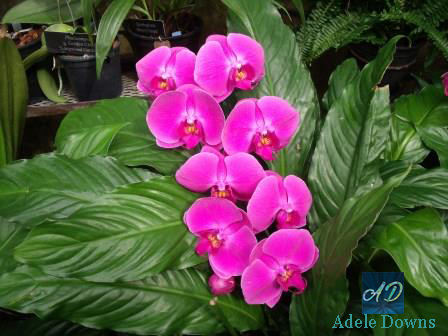 LGpurplespecialorchids2signed