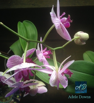 orchiddoublebloomsigned
